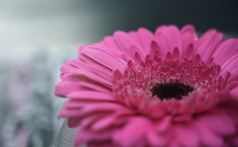 Цветок пинка маргаритки Gerbera с расплывчатыми обоями коэффициента предпосылки HD стоковые изображения