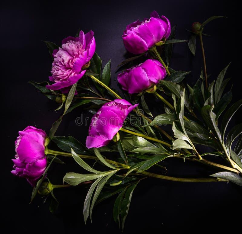 Цветок пиона на черной предпосылке стоковое изображение rf
