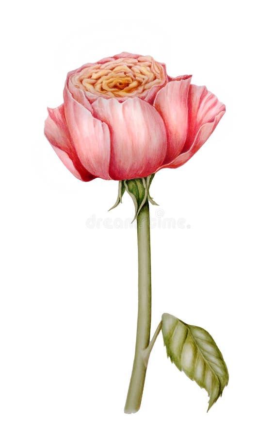 Цветок пиона розовый иллюстрация штока