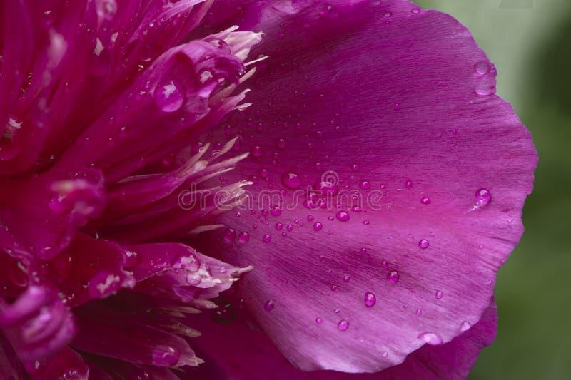 Цветок пиона стоковые изображения rf