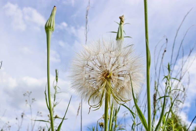 Цветок подобный одуванчику - имена Salsify луга общие Джек-в кроват-на-полдне стоковые фото