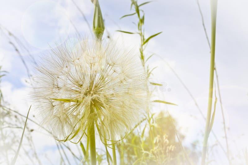Цветок подобный одуванчику - имена Salsify луга общие Джек-в кроват-на-полдне, salsify луга, показной коз-бороде стоковое фото rf