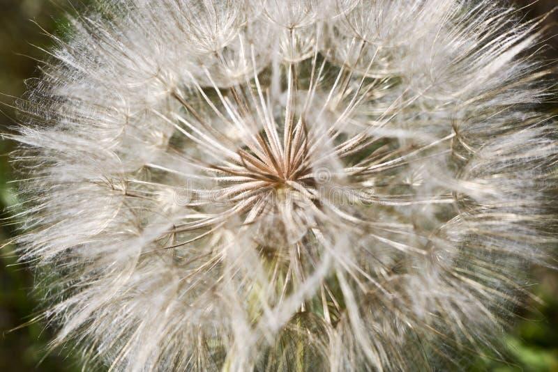 Цветок подобный одуванчику - имена Salsify луга общие Джек-в кроват-на-полдне, salsify луга, показной коз-бороде стоковое фото