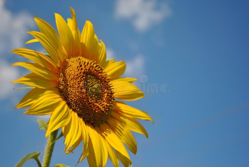 цветок подсолнечных цветов, облачный фон, украина стоковое фото