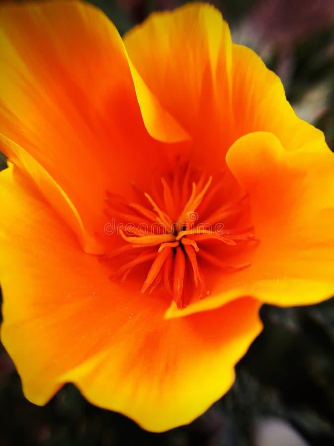Цветок положения Калифорнии стоковая фотография rf