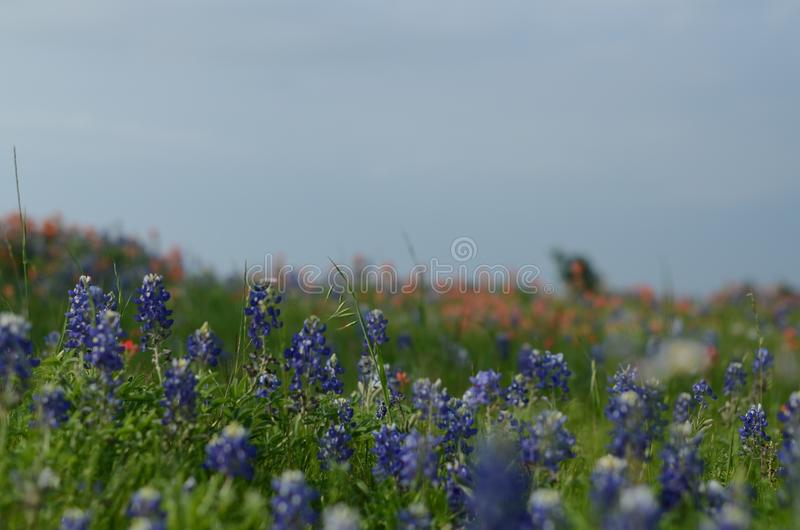 Цветок положения Bluebonnet Техаса стоковые изображения rf