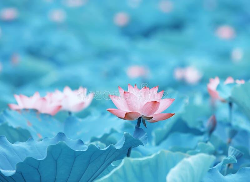 Цветок прелестно лотоса стоковое фото
