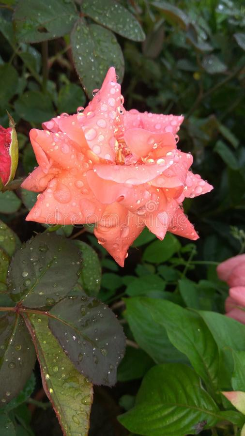 Цветок природы стоковые фотографии rf