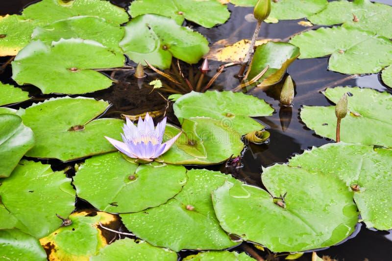 Цветок пурпура lilly srrounded листьями на пруде стоковые изображения