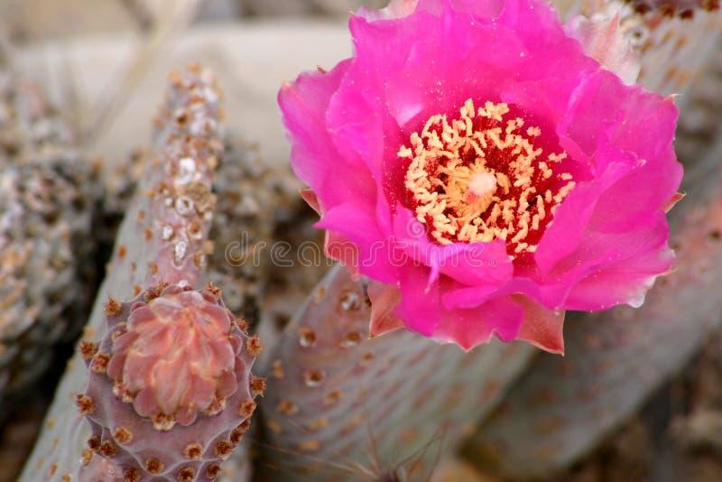 цветок пустыни кактуса стоковое изображение rf
