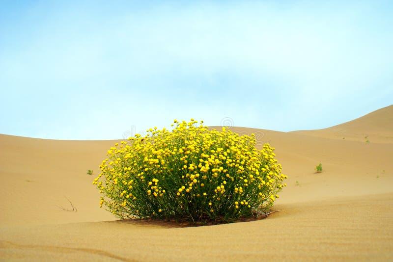 цветок пустыни стоковое изображение rf