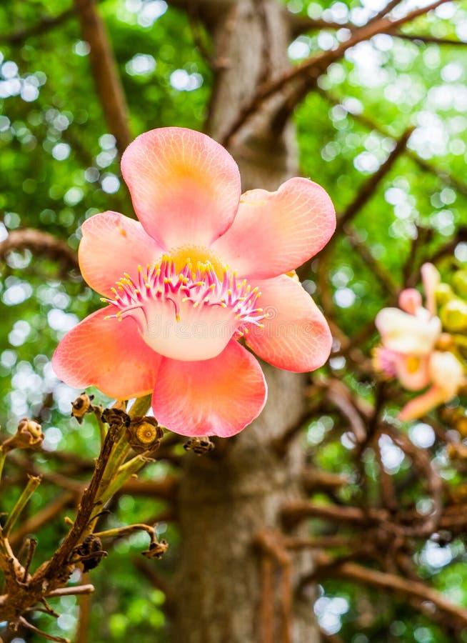 Цветок пушечного ядра с bokeh стоковое изображение rf