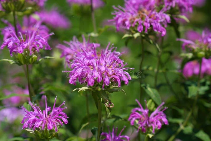 цветок пчелы бальзама стоковое фото rf