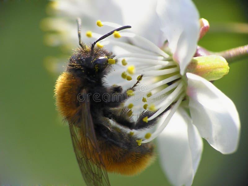 цветок пчелы близкий вверх стоковые изображения rf