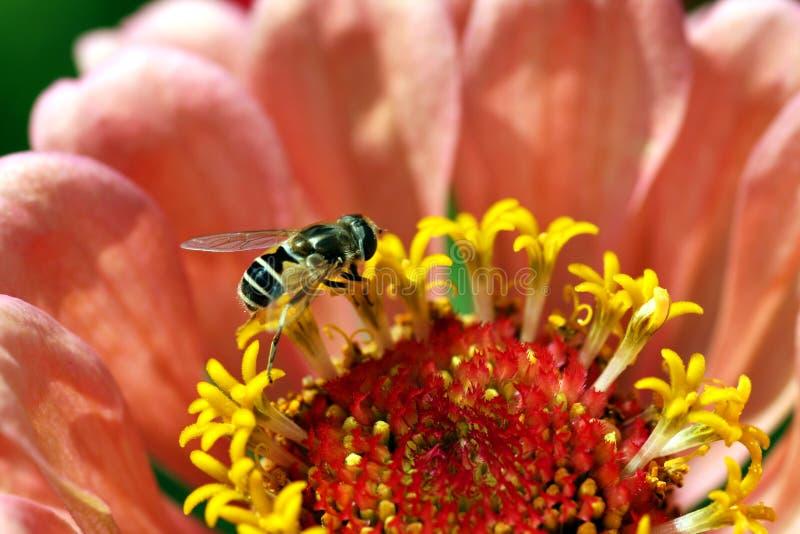 цветок пчелы малюсенький стоковая фотография