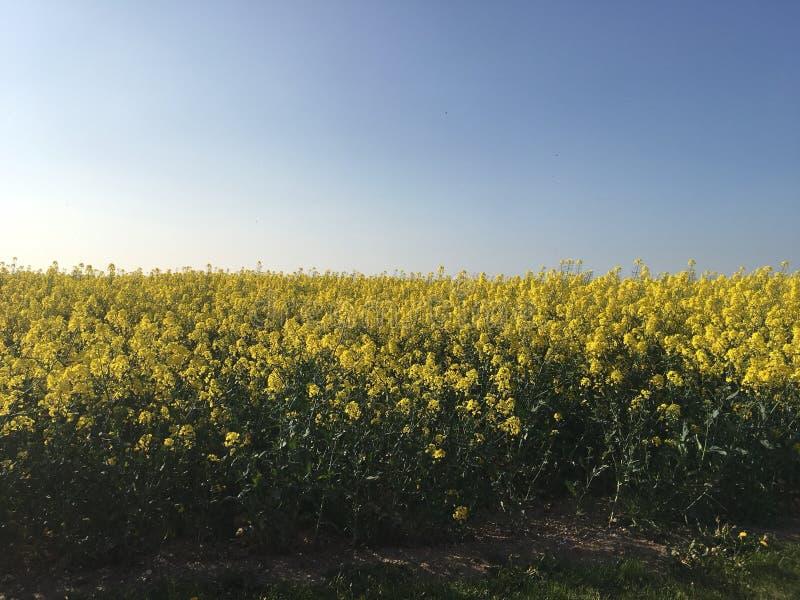 Цветок рапса временени стоковое фото rf
