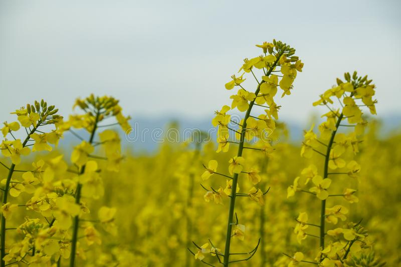 Цветок рапса в Каталонии стоковое фото
