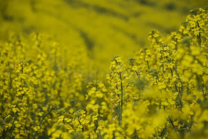 Цветок рапса в Каталонии стоковая фотография rf