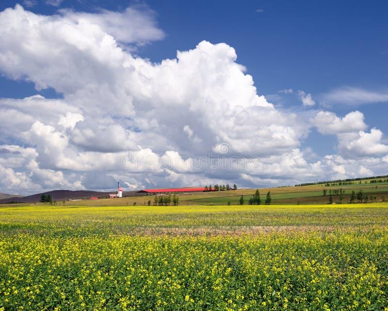 Цветок рапса масла стоковое фото rf