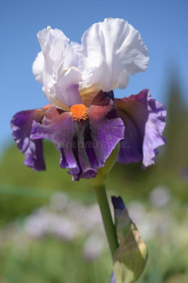 Цветок радужки стоковая фотография rf