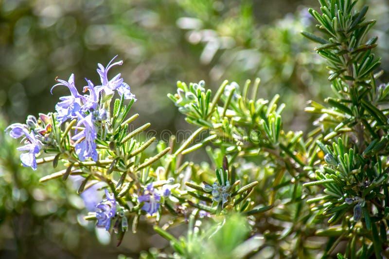 Цветок Розмари стоковая фотография rf