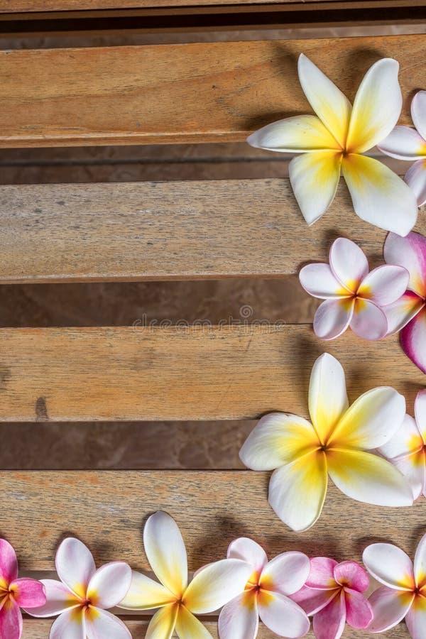 Цветок розового и белого frangipani цветка Plumeria тропический, bloominge цветка plumeria, цветок курорта, остров Бали стоковая фотография rf