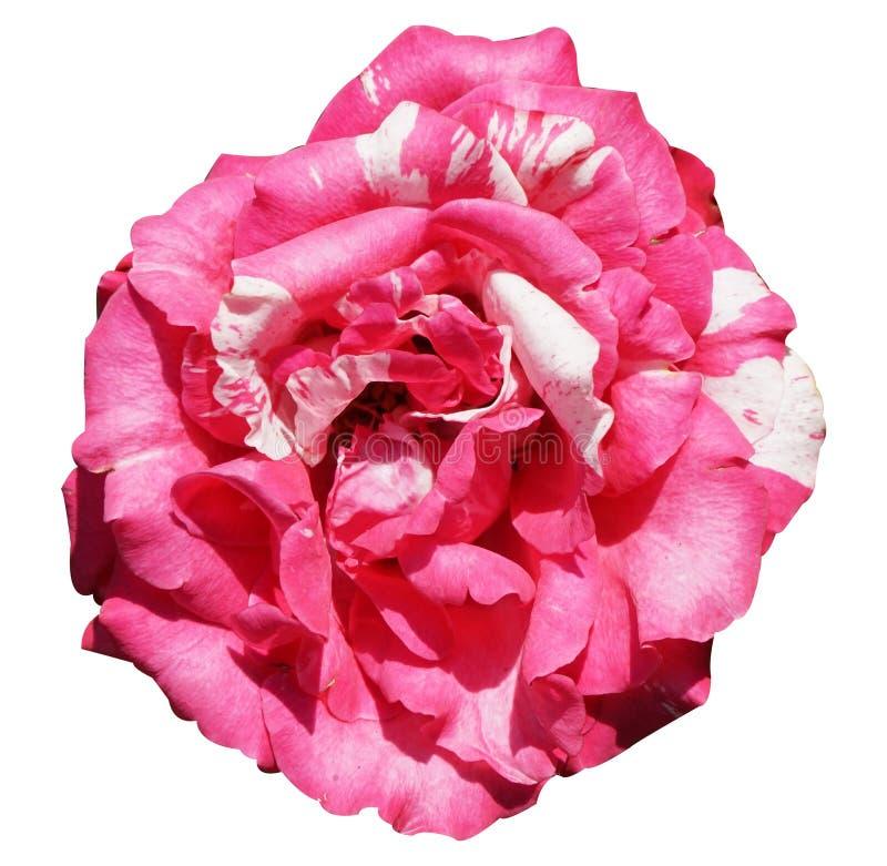 Цветок розового штофа розовый на белой предпосылке стоковое фото