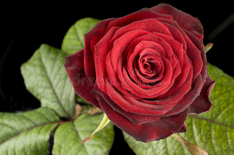Цветок розы красного цвета стоковое фото rf