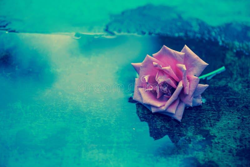 Цветок розы лежит на влажной поверхности стоковое фото rf