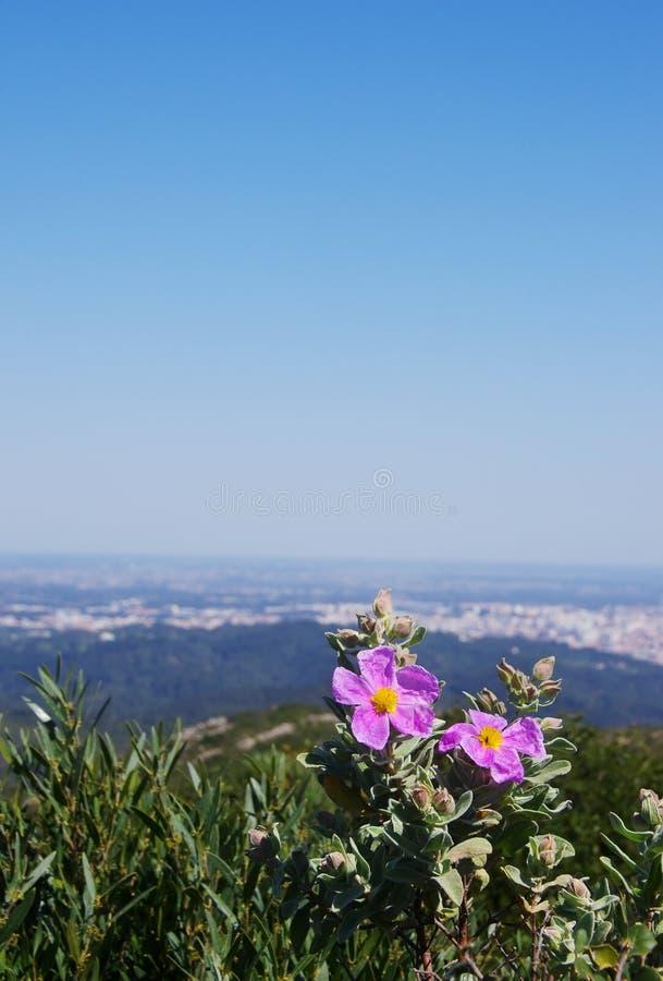 Цветок Розы утеса & x28; или flower& x29 Cistus; в Arrabida стоковые фото