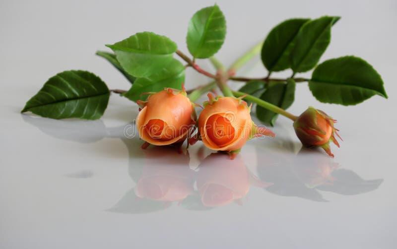 Цветок роз глины оранжевый на белой предпосылке стоковое фото