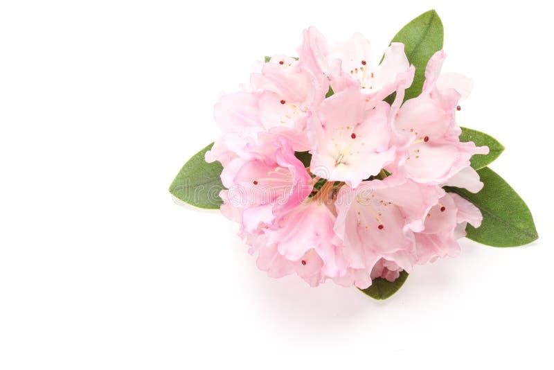 Цветок рододендрона стоковая фотография rf