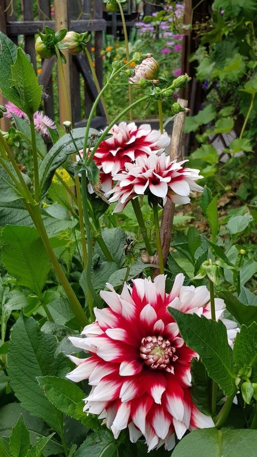 Цветок сада стоковое изображение