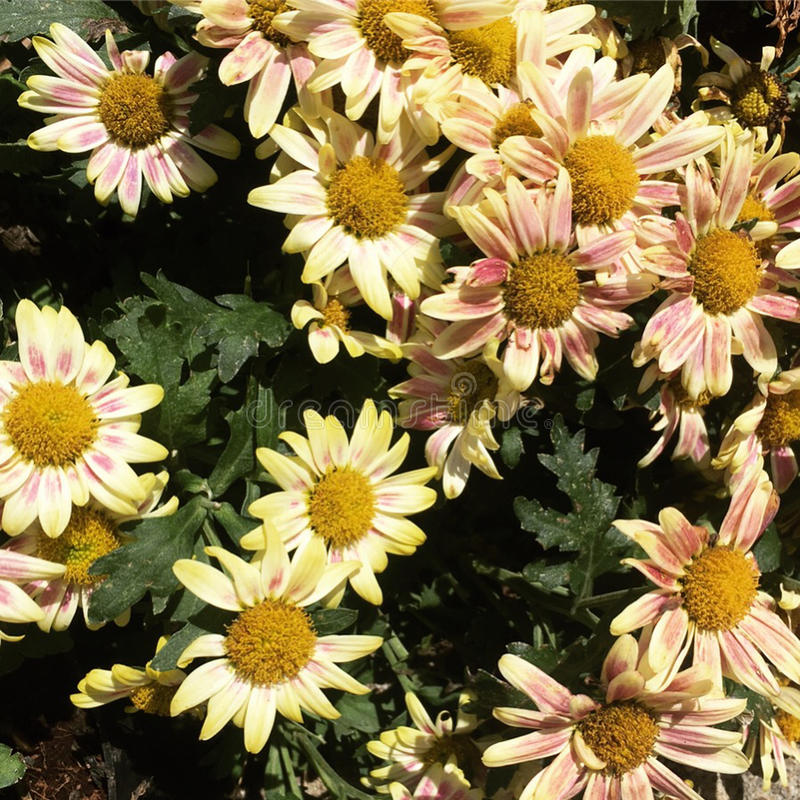 Цветок сада Batu стоковые фото