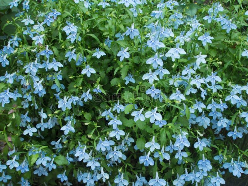 Цветок сини зацветая тропический стоковое фото rf