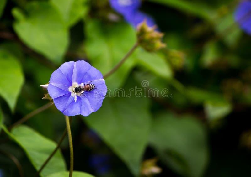 цветок сини пчелы стоковые фото