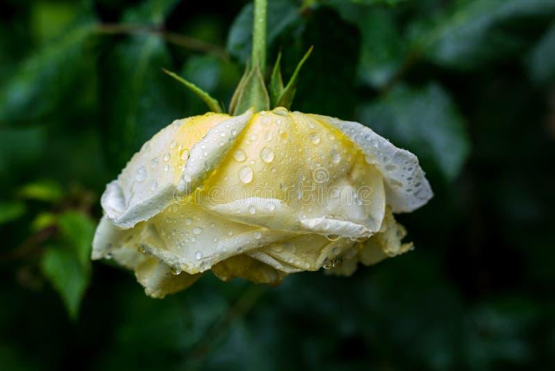 Цветок сливк поднял в сад лета после дождя стоковые изображения rf
