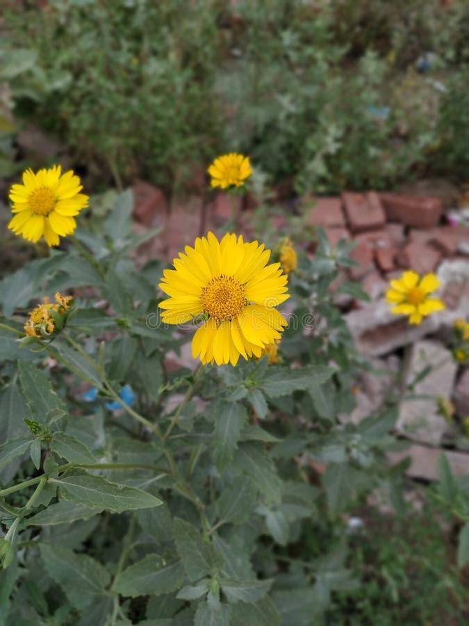 Цветок Солнца в благоухании цветения парка стоковые фото