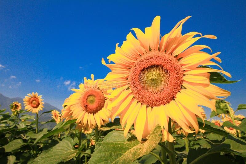 Цветок Солнца против голубого неба Красивый ландшафт с полем солнцецвета над пасмурным голубым небом стоковая фотография rf