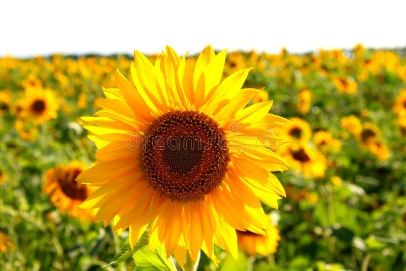Цветок солнцецвета на поле Семена и масло r стоковое фото rf