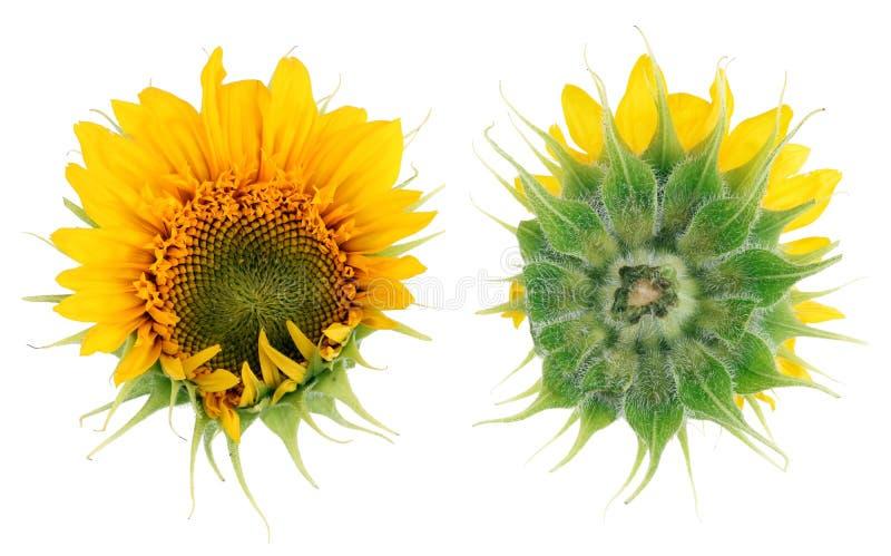 Цветок солнцецвета скачками странной формы a к стоковые фотографии rf