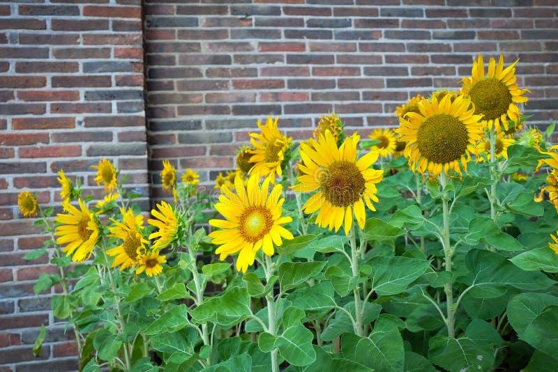 Цветок солнцецвета стоковая фотография