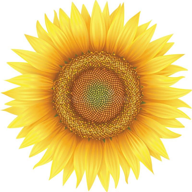 Цветок солнцецвета иллюстрация штока