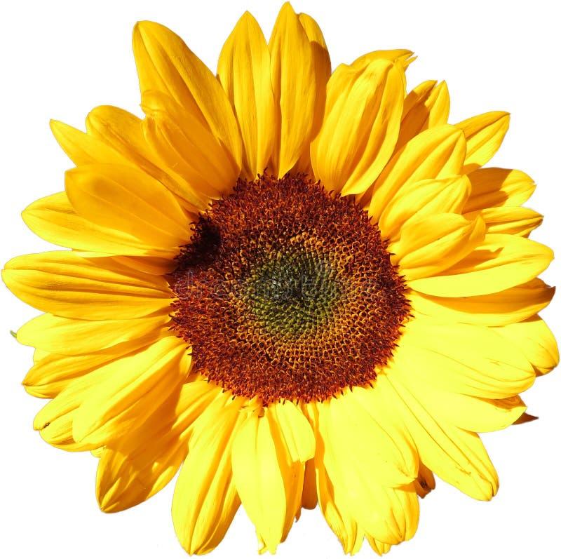 Цветок Солнця на прозрачной предпосылке в дополнительном файле PNG стоковое изображение