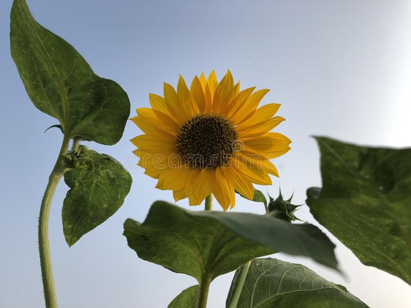 Цветок Солнця, подсолнечник голубое небо как предпосылка стоковые изображения rf