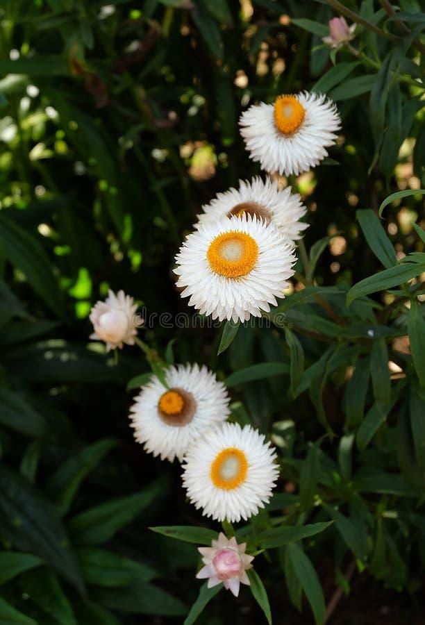 Цветок соломы в открытом саде Bracteatum Xerochrysum, зима fl стоковые фотографии rf