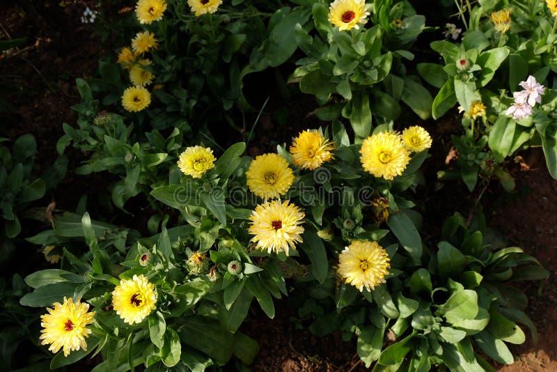 Цветок соломы в открытом саде Bracteatum Xerochrysum, зима fl стоковое фото rf