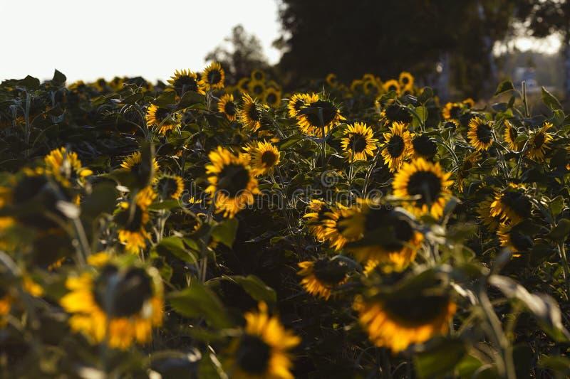 Цветок солнцецвета в ярком солнечном свете стоковые изображения rf