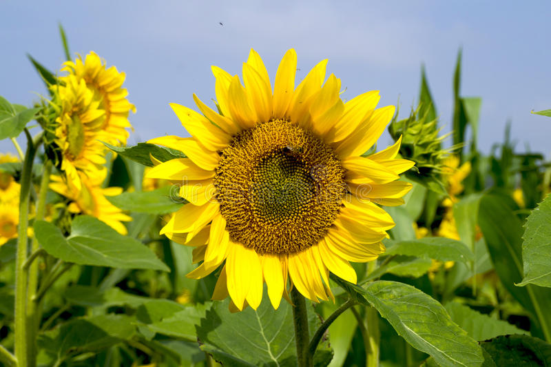 Цветок солнцецвета против голубого неба стоковые фото