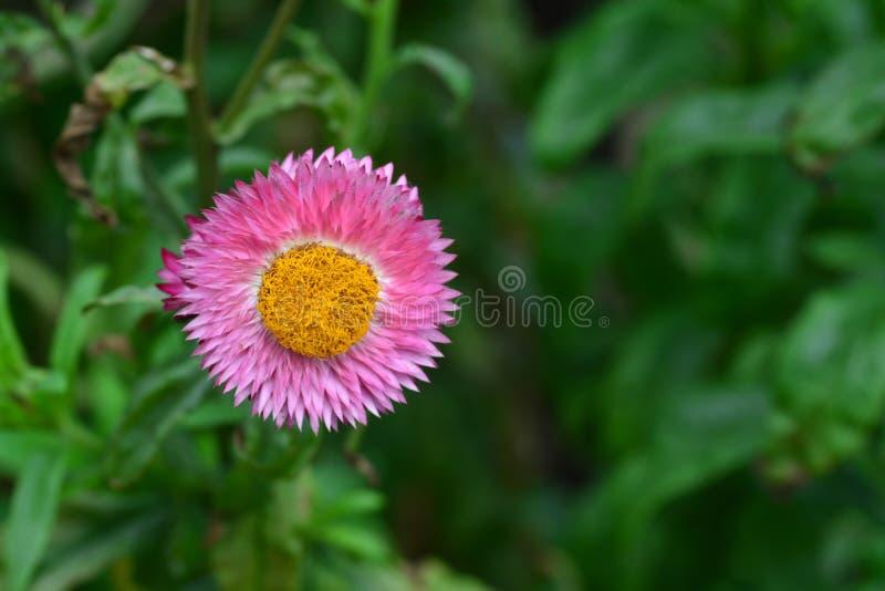 Цветок соломы или вековечный или бумажный цветок маргаритки стоковые фотографии rf